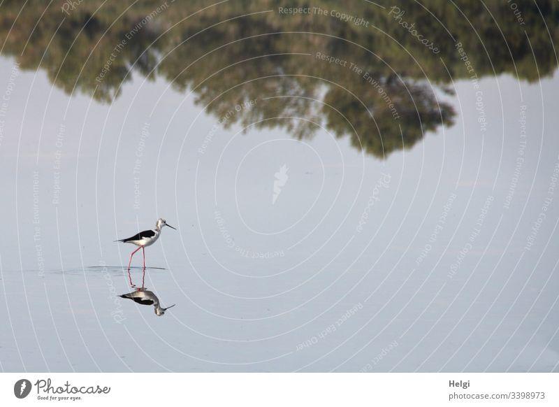 Stelzenläufer (Vogel) auf Futtersuche spiegelt sich  in einem flachen Salzsee einer Salzgewinnungsanlage auf Mallorca Säbelschnäbler langbeinig Flachwasserzone