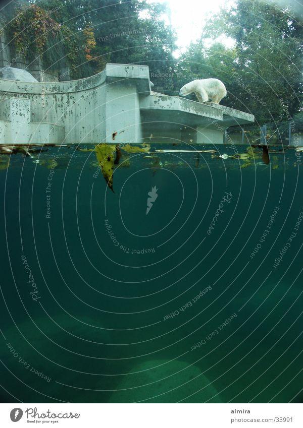 der alte bär Wasser ruhig Einsamkeit Leben warten Verkehr Perspektive Zoo Publikum Erwartung Lücke Bär stagnierend Besucher Eisbär