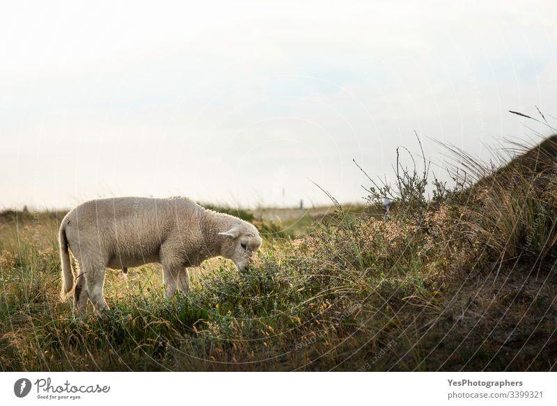 Lämmer grasen im Morgenlicht auf der Insel Sylt Deutschland Schleswig-Holstein Tiere Babyschafe Landschaft niedlich heimisch Europa Bauernhof füttern