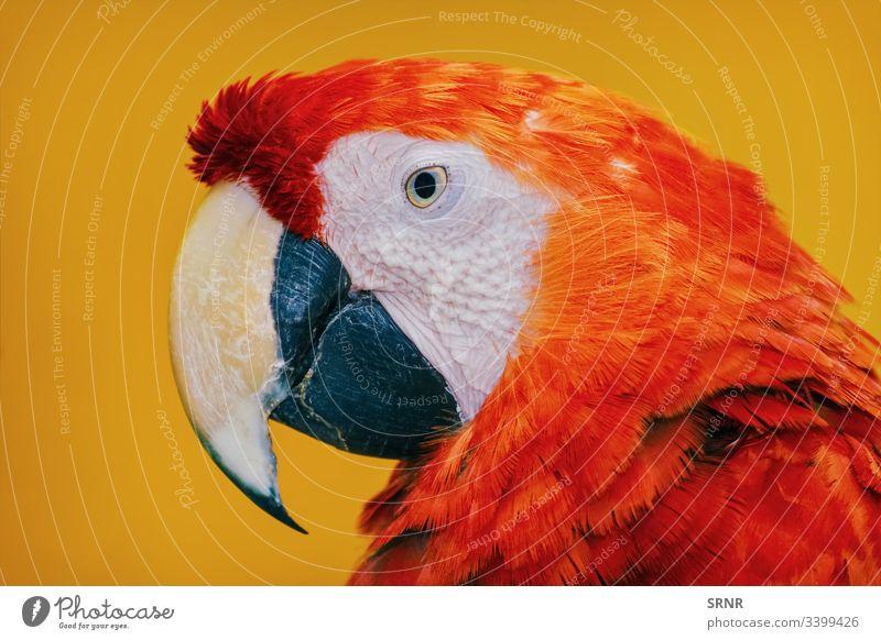 Der Ara-Papagei Tier ara Vogel Vogelwelt Schnabel Rechnung Fauna gefiedert neb gehockt Porträt psittacidae Zygodaktylus
