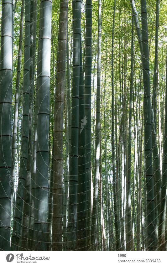 Ein weiterer Bambuswald Bambusrohr Japan Reisefotografie grün Pflanze Natur Asien Wald Außenaufnahme exotisch Schatten