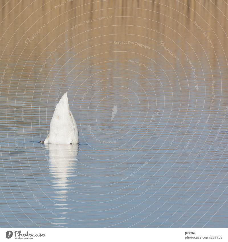Schwan Umwelt Natur Tier Wasser Seeufer blau weiß Reflexion & Spiegelung Farbfoto Außenaufnahme Textfreiraum unten Tag Starke Tiefenschärfe Zentralperspektive