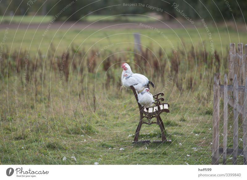 Sundheimer Hühner auf einer Bank Sundheimer Huhn Geflügel Henne Hahn natürlich ökologisch Landwirtschaft Nachhaltigkeit nachhaltig artgerecht