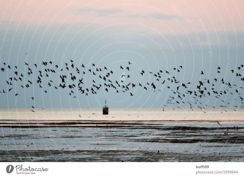 Ein Schwarm Stare am Morgen über dem Wattenmeer Vögel Ebbe Nordsee Nordseeküste Küste Landschaft Wasser Strand Horizont Wolken Reflexion & Spiegelung