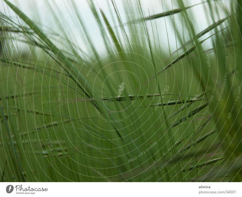Ähren Weizen Feld grün Rauschen Bauernhof Reifezeit Säuseln Getreide Leben Wachstum