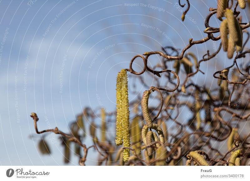 Korkenzieherhasel (Corylus avellana Contorta) strauch Haselnuss Korkenzieherhaselnuß Birkengewächs blütenkätzchen männlich weiblich gedreht verdreht Pflanze