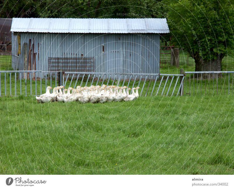 gänserudel Bewegung Frühling Glück Vogel Bauernhof Gesellschaft (Soziologie) Zusammenhalt Gans Krach Federvieh Tierhaltung