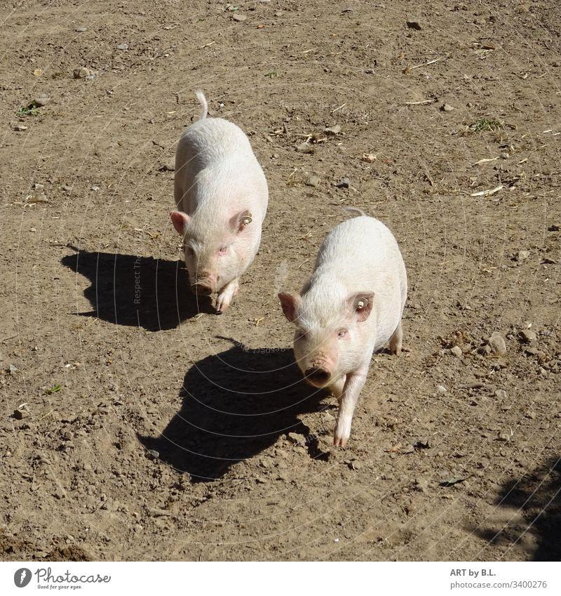 Zwei Schweinchen und ihre Schatten neugierige Schweine schweinschen sau säue ferkel nutztiere kleine schweinchen Bauernhof Säugetier freudig junge junges
