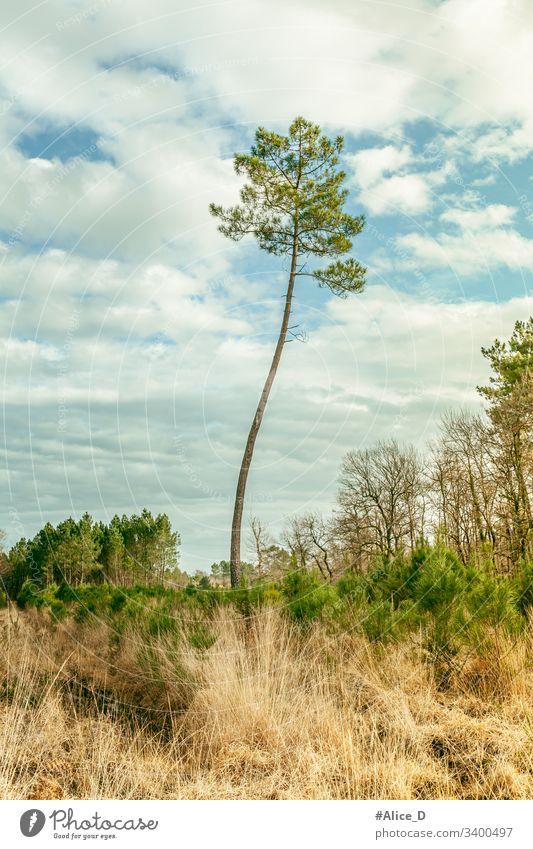 Kiefer Landschaft Natur Frankreich Verlassen Hintergrund Blauer Himmel Ast Konifere Tag Trockenwiese Umwelt Europa Wald Gras grün Hügel mediterran natürlich