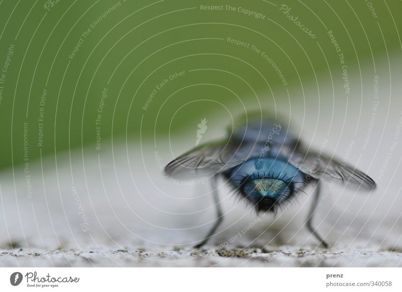 Fliege blau Umwelt Natur Tier Wildtier 1 grün sitzen Rückansicht Farbfoto Außenaufnahme Nahaufnahme Makroaufnahme Menschenleer Textfreiraum oben Tag
