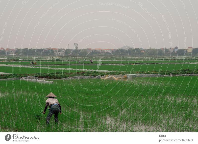 Ein vietnamesischer Reisbauer auf einem grünen Reisfeld bei der Arbeit Vietnam Vietnamesisch anbauen Feld Landschaft Natur Landwirtschaft Außenaufnahme