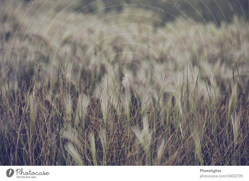 Ufergras Nahaufnahme Farbfoto Umwelt Natur schön gedeckte Farben weiß braun grün Zugvögel Mono Lake Sierra Nevada USA Kalifornien alkalisch Gras Schilfrohr