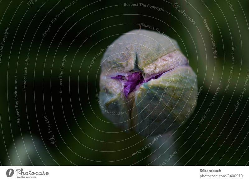 Knospe einer Blüte am aufgehen. Frühling Pflanze Freisteller Natur Nahaufnahme Makroaufnahme Detailaufnahme Wachstum Botanik abstrakt frisch Blume flower