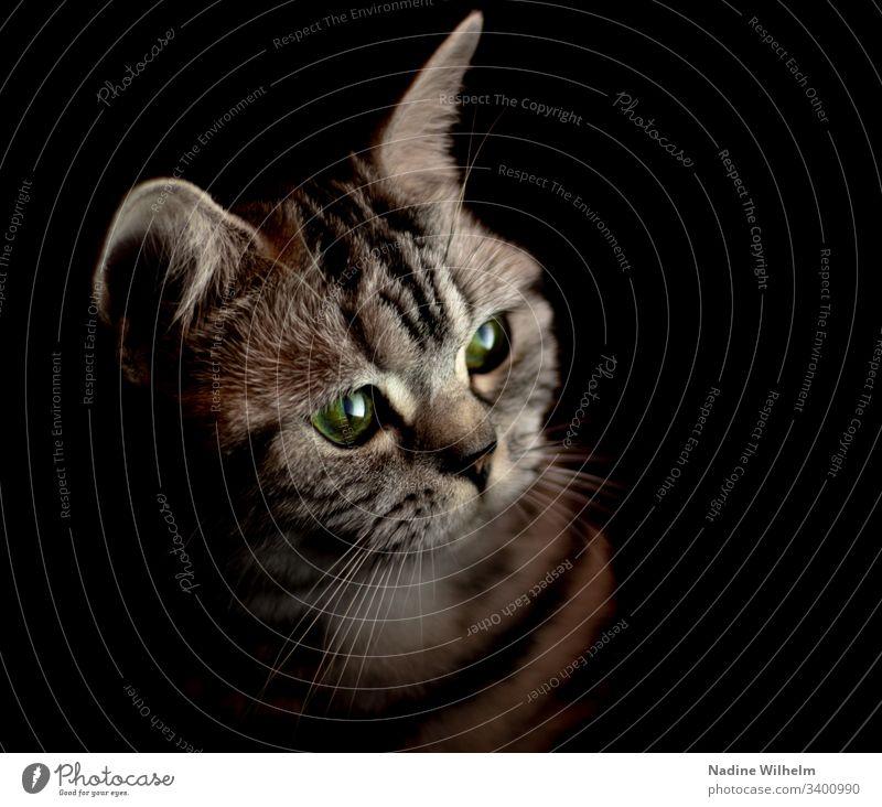 Neugierige BKH im Licht Britisch Kurzhaar Katze Tier Haustier Farbfoto Tierporträt Blick niedlich Hauskatze Innenaufnahme Künstliches Licht schön Tierliebe