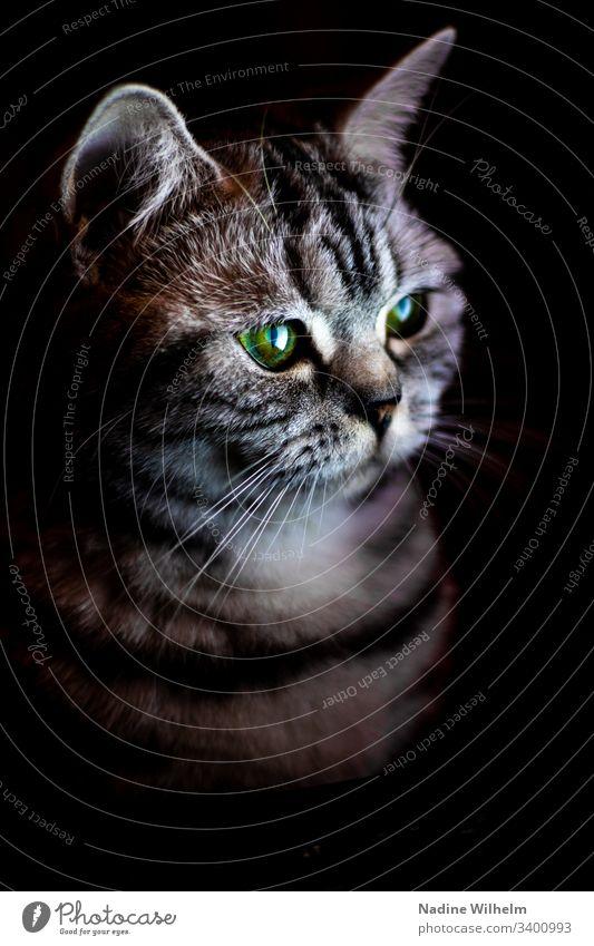Britisch Kurzhaarkatze im Licht Katze Tier Haustier Farbfoto Tierporträt Blick niedlich Hauskatze Innenaufnahme Künstliches Licht schön Tierliebe Augen