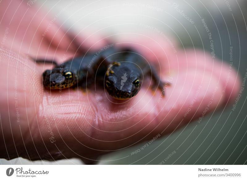 Zwei Molche auf einer Hand Amphibie Lurch Tier Farbfoto Natur Außenaufnahme Nahaufnahme Tag schwarz haltend braun Tierporträt Schwache Tiefenschärfe klein