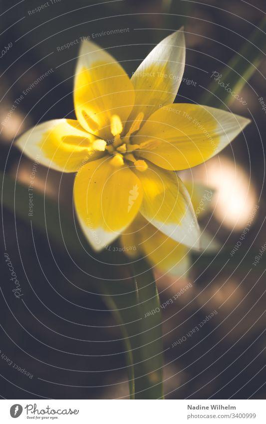 Tulipa tarda Gelb Krokus Pflanze Topffplanze Wildpflanze Beet Garten Grün Blume Blüte Bokeh Farbfoto Außenaufnahme Frühling Tag Blühend Park Makroaufnahme