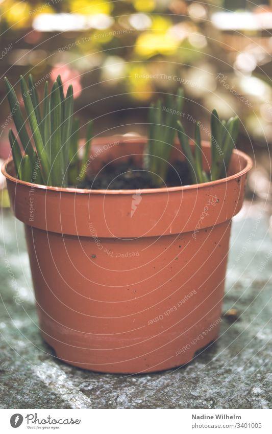 Der Frühling naht Pflanze Topfpflanze Grün Farbfoto Blume Außenaufnahme Schwache Tiefenschärfe Natur Garten Detailaufnahme Nahaufnahme Makroaufnahme Unschärfe