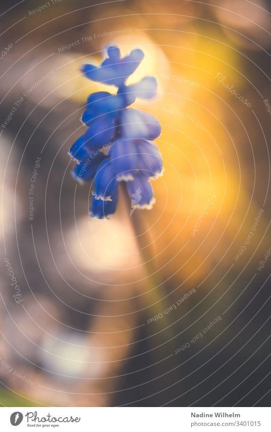 Traubenhyazinthe im Licht Blume Lichterscheinung blurred blurry Bokeh Pflanze Unschärfe Farbfoto Natur Frühling Blüte blau Nahaufnahme Makroaufnahme