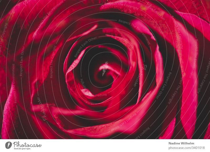 Pinke Rose Pflanze Blume Blüte Natur Farbfoto Makroaufnahme Nahaufnahme Detailaufnahme Schwache Tiefenschärfe Sommer Blühend Frühling Tag Umwelt Unschärfe Duft