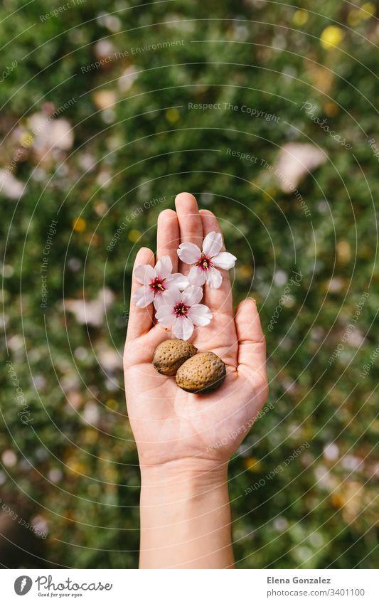 Draufsicht auf eine Frau, die im Feld Mandelschalen und Mandelblüten in ihrer Handfläche hält. Erstaunlicher Frühlingsanfang. Selektive Konzentration auf ihre Hand.