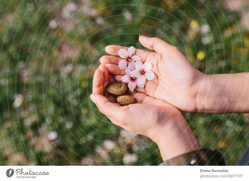Draufsicht auf eine Frau, die im Feld Mandelschalen und Mandelblüten in ihren Palmen hält. Erstaunlicher Frühlingsanfang. Selektive Konzentration auf ihre Hände.