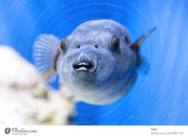 Fugu-Fische als Natur unter Wasser fugu puffern blau MEER Sinkflug marin Meer Tier giftig exotisch Makro Kugelfisch tropisch tetraodontidae wild Leben Japan