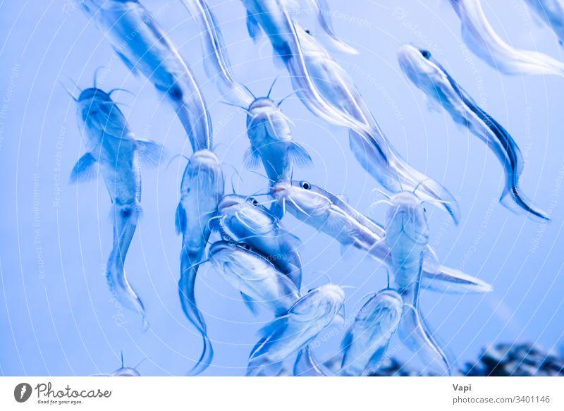 Aalwels-Fische Wels unter Wasser viele marin exotisch Lagune tropisch unterseeisch aqua Sinkflug Taucher Schwimmsport Landschaft unten Leben MEER Korallen Meer