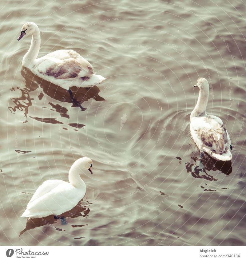 Schwäne Frühling See Vogel Schwan 3 Tier Tierjunges Tierfamilie Schwimmen & Baden braun grau Farbfoto Gedeckte Farben Außenaufnahme Menschenleer Tag