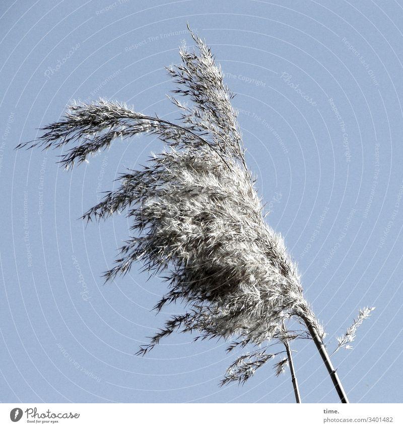 windig gras küste ostsee wachsen phantasie bewegung lebendig natur flora kontrast himmel sonnenlicht hell Wollgras grau silber wehen