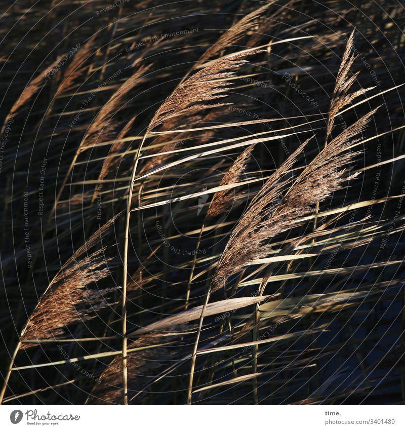 windig gras küste ostsee wehen wachsen gemeinsam gesellschaft dunkel phantasie bewegung lebendig sehnsucht rauschen flirren natur flora kontrast