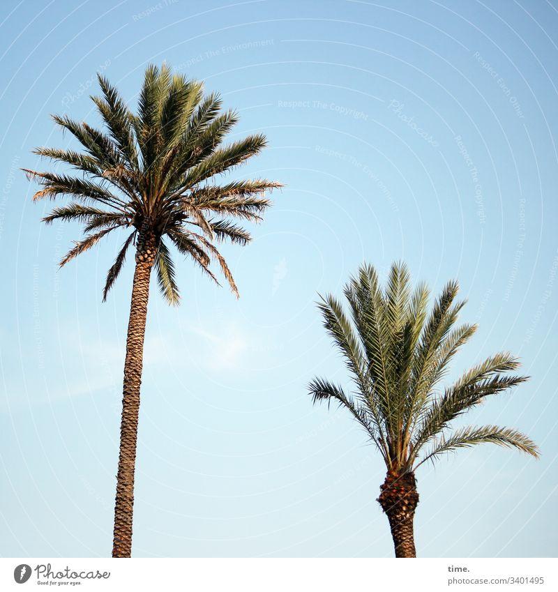 Strandfeuerwerk palme sonnig himmel palmenblatt natur pflanze spreizen nebeneinander zwei unterschiedlich wachstum fröhlich warm baumstamm klein groß