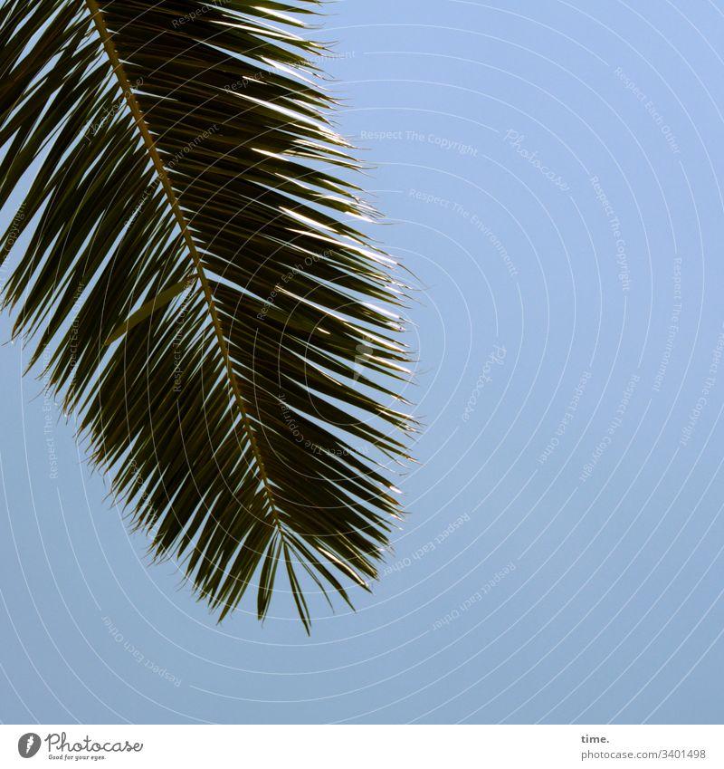 Gruß von oben palme detail oberfläche blau linien sonnig himmel palmenblatt glitzern hängen natur pflanze spreizen nebeneinander parallel schatten