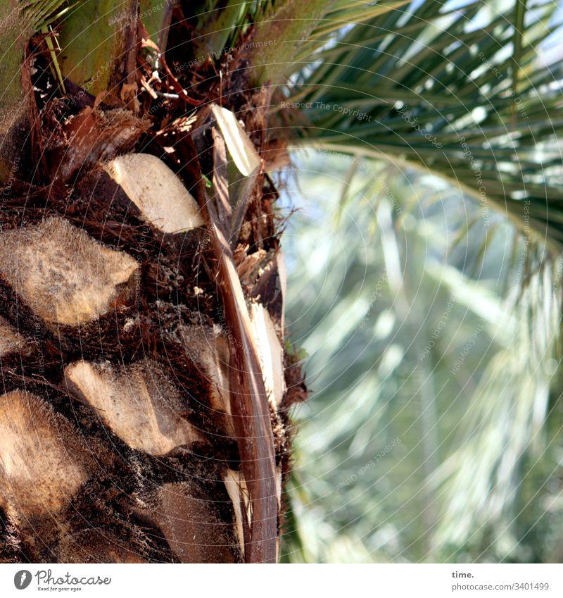 die Palmwedelmopser hatten über Nacht wieder ganze Arbeit geleistet palme sonnig palmenblatt natur pflanze spreizen warm baumstamm süden palmenstamm