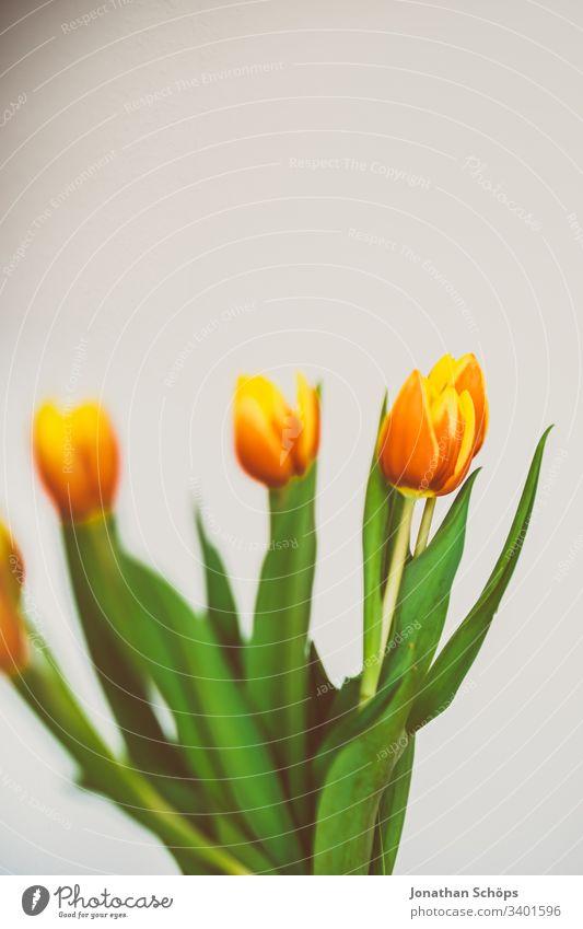schöne Tulpen vor hellem Hintergrund als Geschenk zum Muttertag Blütezeit Blumenschmuck Schönheit Blumenstrauß Vor hellem Hintergrund Nahaufnahme Farbe