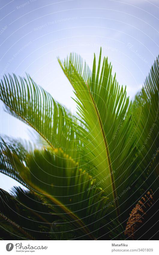Palmblätter und blauer Himmel Grüne Pflanze Palme Flora Sommer Sommerferien Blauer Himmel Palmenwedel Exotisch exotic Blatt Ananasblätter farbig fröhlich
