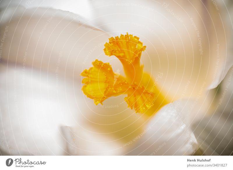 Makro Bild eines weißen Krokus und eines gelben Stößels in schönem Weichzeichner Hintergrund Schönheit Blütezeit Überstrahlung blühender Krokus Botanik