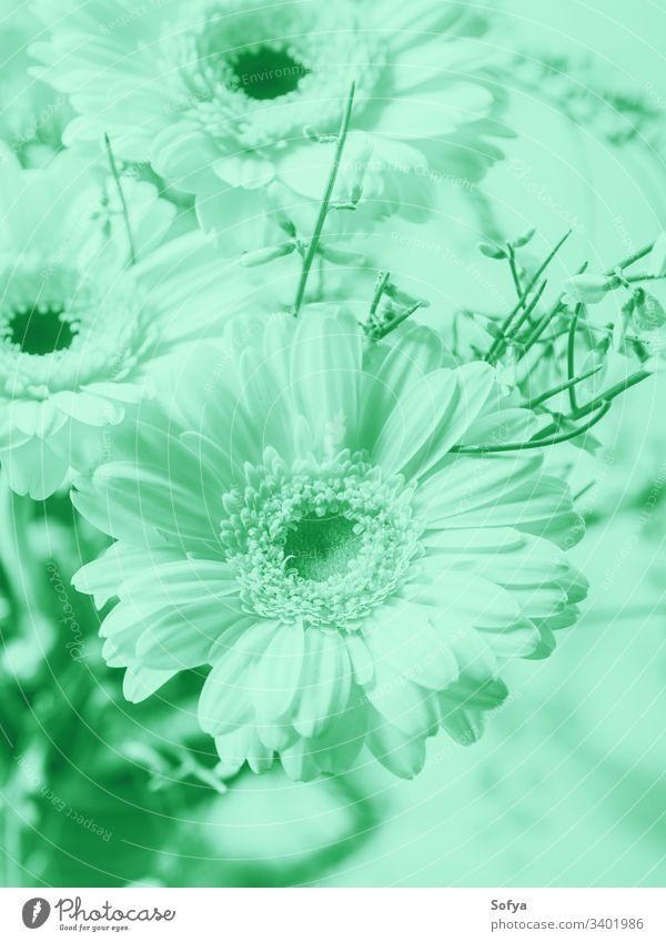 Blumenstrauß mit schönen Gerbera-Blumen. Kalter minzgrüner Ton Pastell neo Minze Farbe Natur Sommer Frühling türkis Design zartes Grün 2020 Stilrichtung biscay