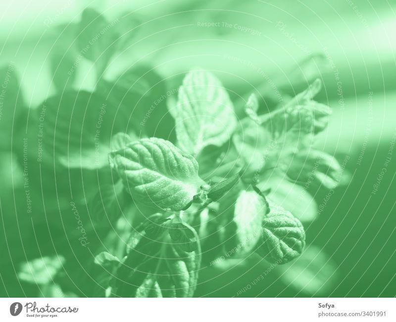 Makroaufnahme einer Minzkräuterpflanze. Minzgrüne Farbe 2020 Natur Minze Neogrün Kraut grüne Minze Blätter Design Pfefferminz Vegetation Pflanze wachsen Sonne