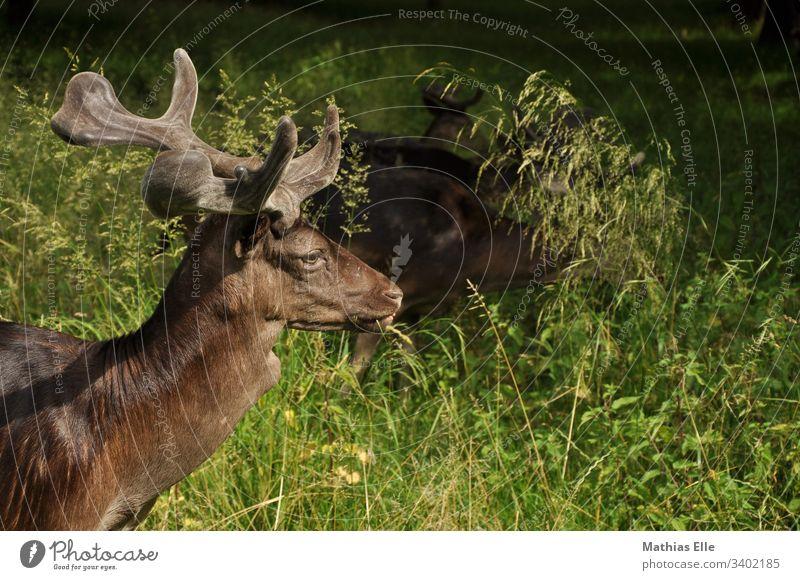 Junger Hirsch mit kleinem Geweih Brunft Herbst Hirsche Oberkörper Tierporträt Schatten Nahaufnahme jung Tierwelt Wiederkäuer beobachtend Säugetier Fauna Damwild