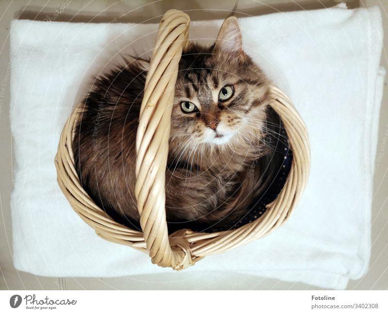 Heute im Sonderangebot: Katze im Einkaufskörbchen schaut nach oben in die Kamera MaineCoon Tier Haustier Farbfoto Innenaufnahme Menschenleer Tag Tierporträt