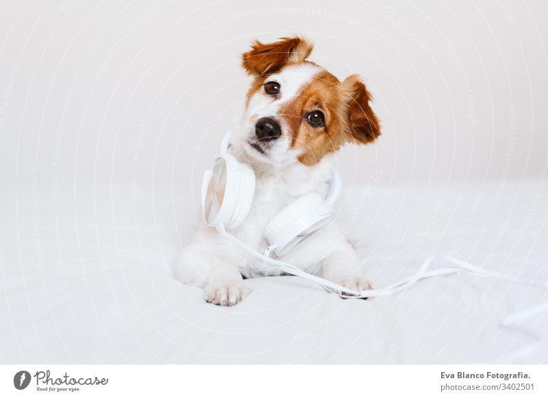 schöner jack russell hund liegt auf dem bett und hört musik über kopfhörer. zuhause, drinnen, musik und lebensstil hören Musik Headset im Innenbereich weiß