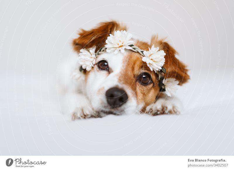 schöner Jack-Russell-Hund zu Hause, der einen weißen Blumenkranz trägt. Frühlings- und Lifestyle-Konzept tagsüber Porträt jack russell im Innenbereich niedlich