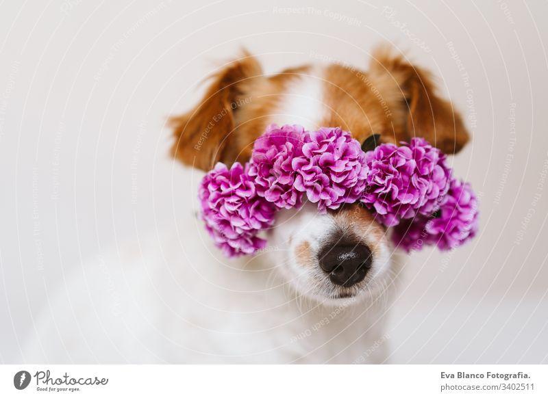 schöner Jack-Russell-Hund zu Hause, der einen lilafarbenen Blumenkranz trägt. Frühlings- und Lifestyle-Konzept tagsüber Porträt jack russell im Innenbereich