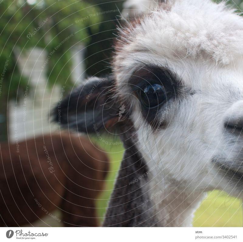 Alpaka-Liebe Detailaufnahme Auge weißhaarig Schwache Tiefenschärfe Nahaufnahme Tierporträt Tiergesicht Blick in die Kamera Farbfoto Neugier beobachten Fell