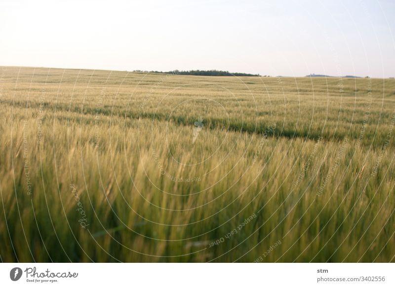 Getreidefeld vor der Ernte Sommer Fruchtbarkeit geringe Tiefenschärfe Landwirtschaft Kulturlandschaft wolkenloser Himmel Feld Ähren Weizen Weizenfeld Korn