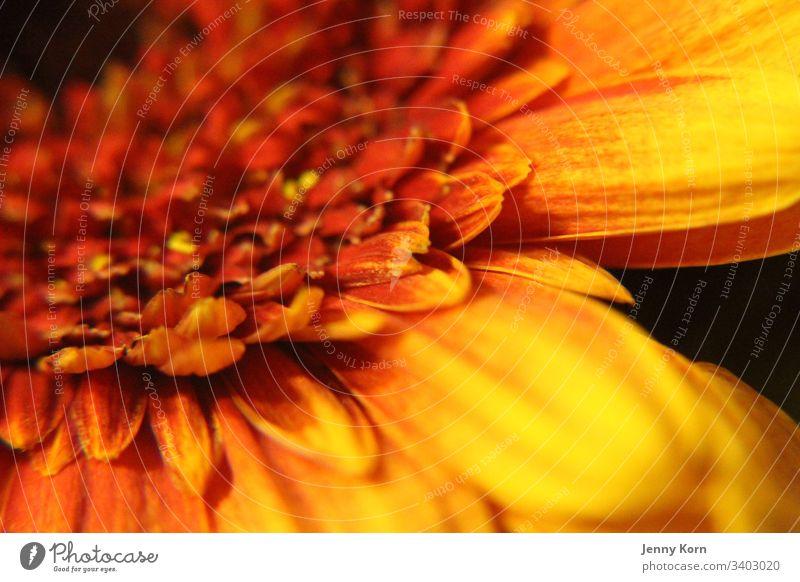 Orangefarbene Blume orange nahaufnahme makro natur blüte Farbfoto Pflanze Frühling Makroaufnahme Detailaufnahme gelb