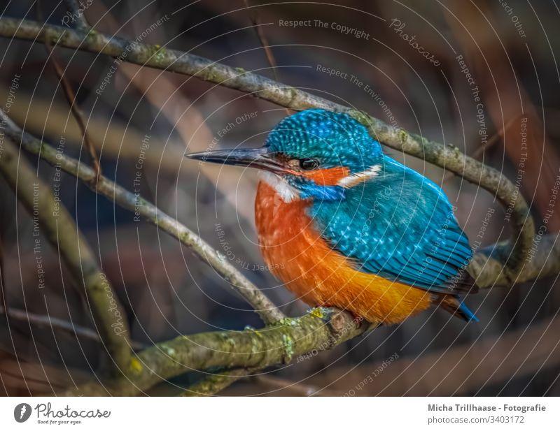 Eisvogel am Flussufer Tierporträt Vogel Natur Wildtier Flügel Gefieder Federn Schnabel Auge Makroaufnahme Zweige u. Äste Detailaufnahme Sonnenstrahlen