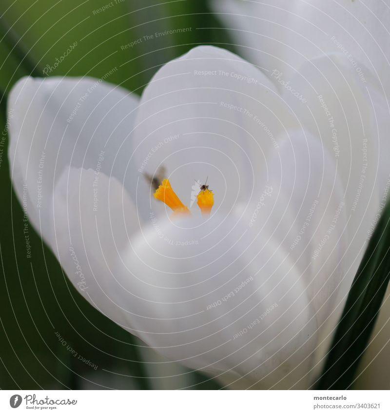 Blume mit Microtierchen auf Blütenstempel Makroaufnahme Detailaufnahme Außenaufnahme Nahaufnahme Frühlingsgefühle natürlich klein Duft Wildpflanze Blatt Pflanze