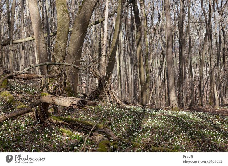 Frühlingserwachen- Wald mit Märzenbechern urwüchsig Märzenbecherwald Frühlingsknotenblume viele Natur Moos Licht & Schatten Blume Pflanze